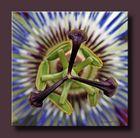 Passionsblume - Blütenstempel