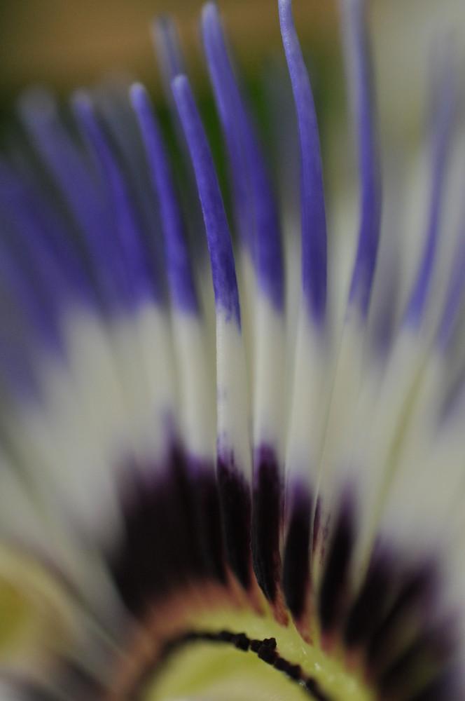 Passionsblume im Detail