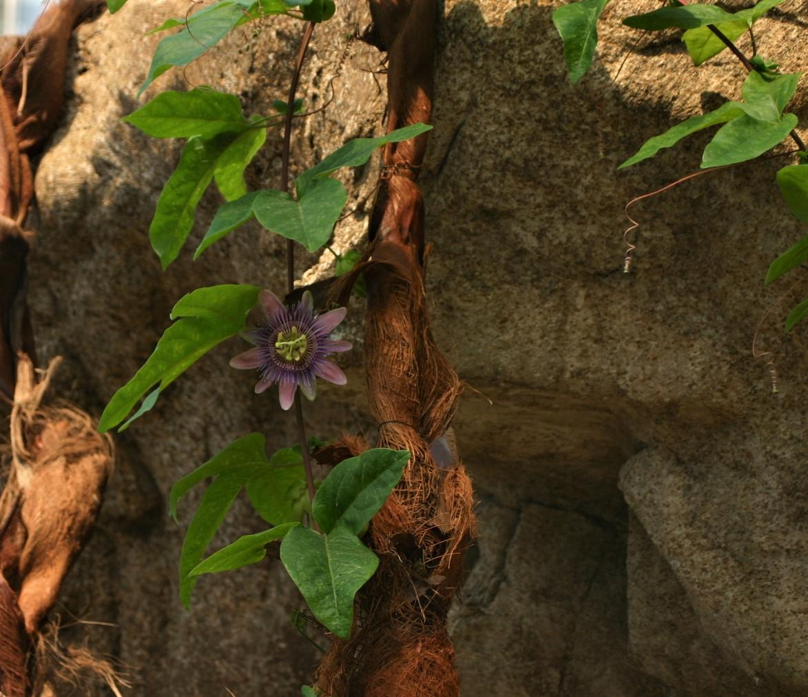 Passionsblume im Gondwanaland