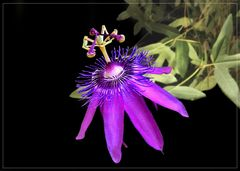 Passionsblume - Passiflora loefgrenii