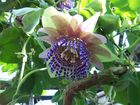 Passionsblumen Blüte