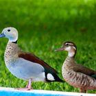 Pato de Collar (Callonetta leucophrys) macho y hembra