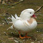 Pato mandarín albino