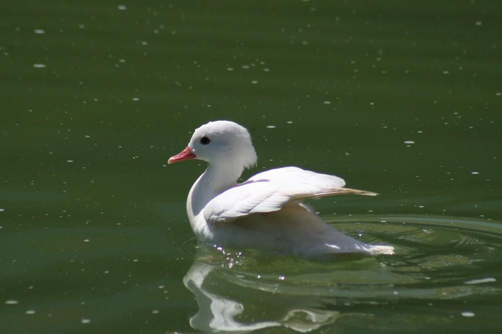 pato mandarin blanco restante