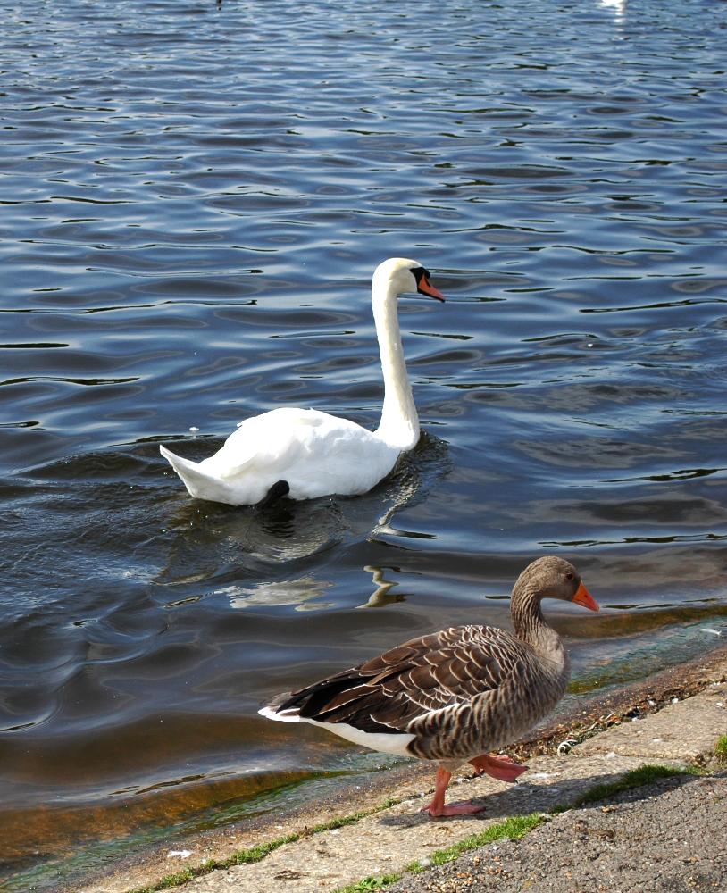 Pato y Cisne