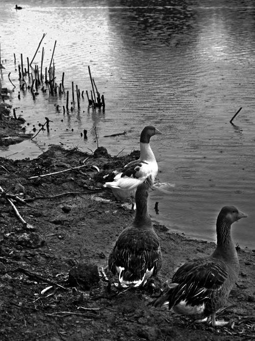 Patos del torrente