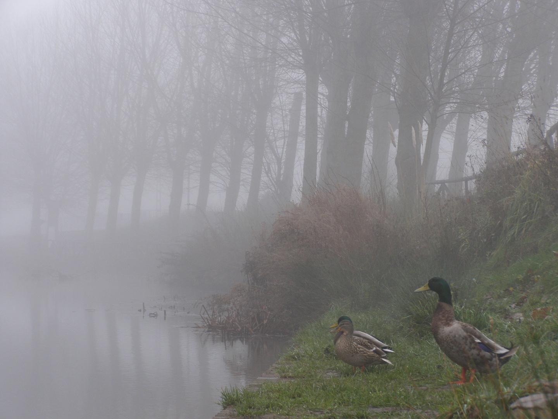 Patos en la nebla del Soto Alar del Rey
