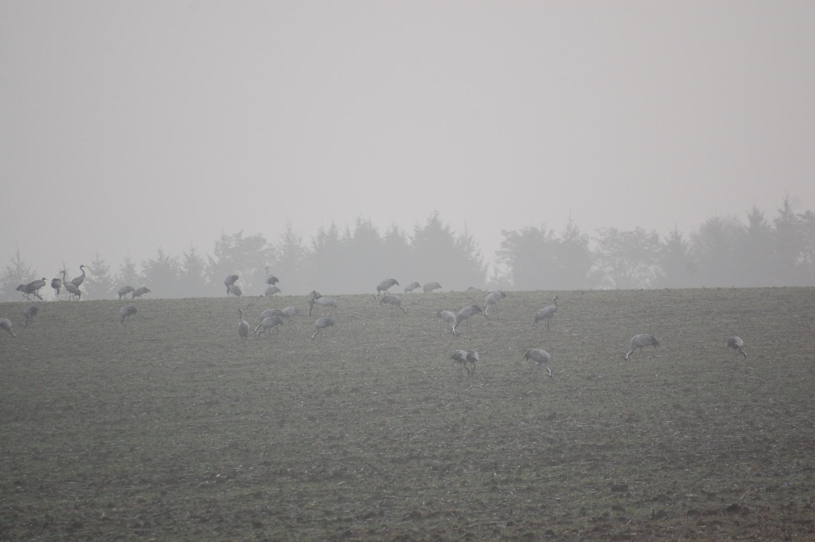 pature de grue dans la brume