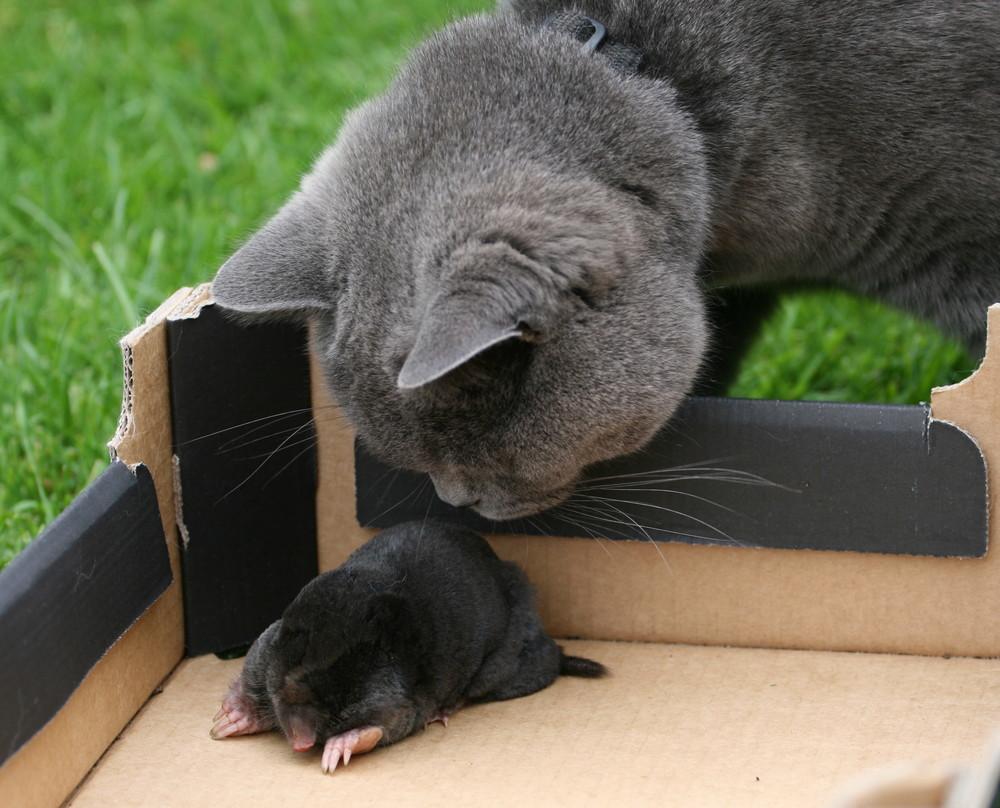paul mit seiner beute dem maulwurf foto bild tiere haustiere katzen bilder auf fotocommunity. Black Bedroom Furniture Sets. Home Design Ideas
