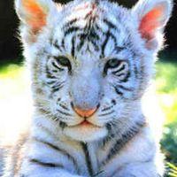Paul Vesty (aka Tiger)