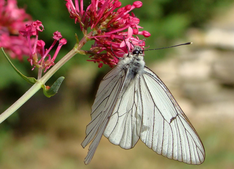 Pause Nectar