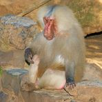 Pavian-Affe schon etwas älter