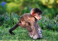 Pavian Baby