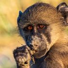 Pavian Chobe Nationalpark