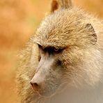 Pavian Close-Up