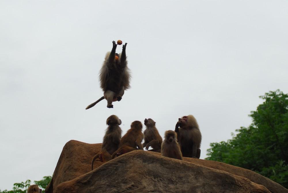 Pavian im Hechtsprung