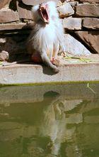 Pavian im Kölner Zoo