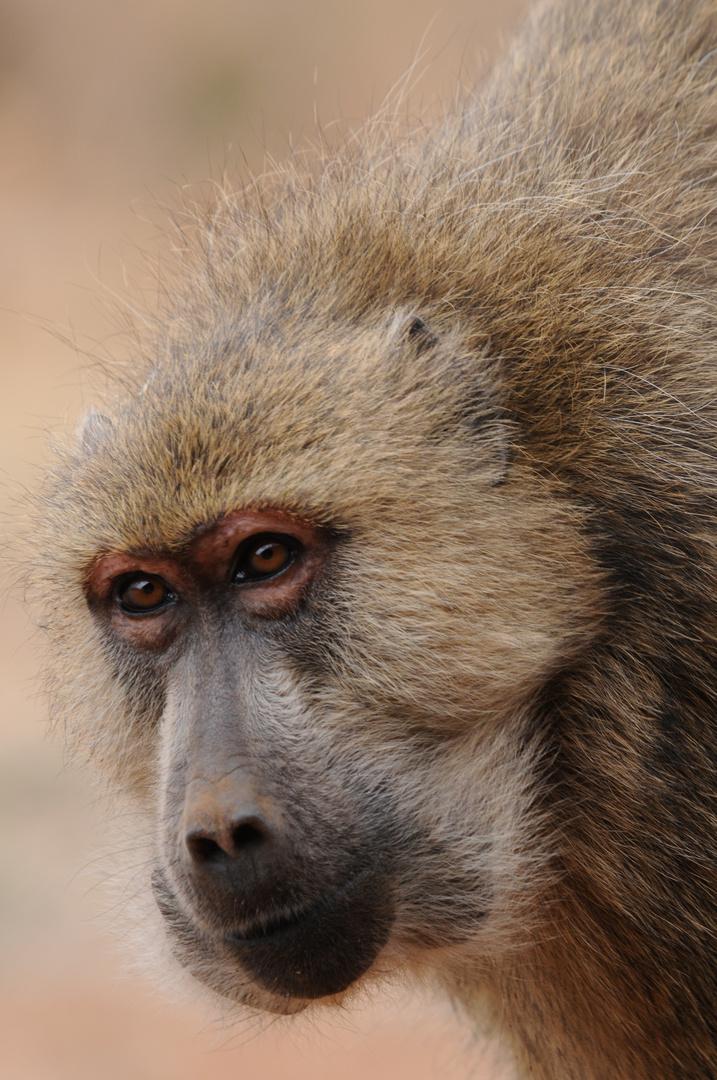 Pavian Kenia ( Tsavo West )