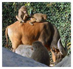Paviane auf Büffel