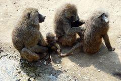 Paviane - Fellpflege festigt die Familienbande