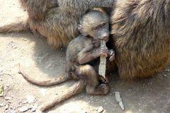 Pavianjunges - Schutz und Wärme bietet das Fell der Mutter
