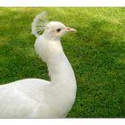 pavone bianco