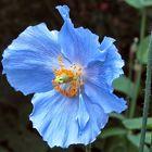 pavot bleu Himalayan