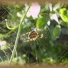 Pavouk - Spider