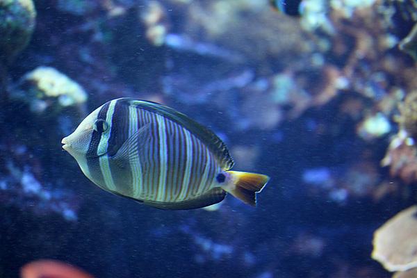 Pazifischer Segelflossen Doktorfisch