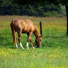 Peaceful grazing horse on a sunny meadow