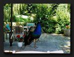 ___Peacock___