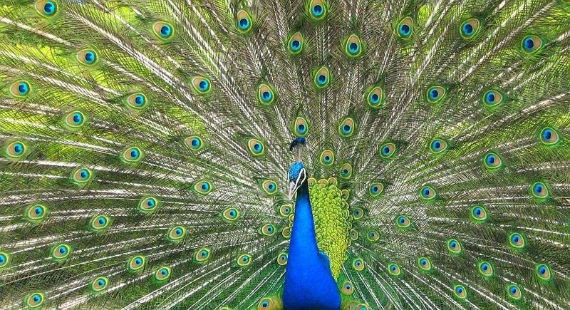 Peacock in Prague garden