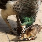 peacock mother with young