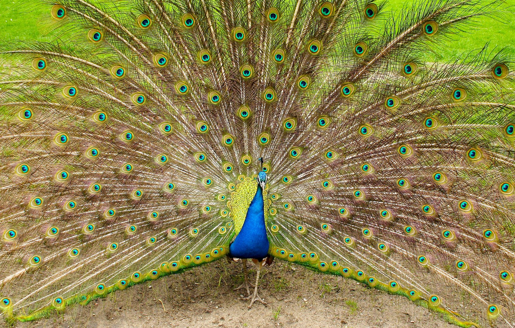 peacock shows its feathers