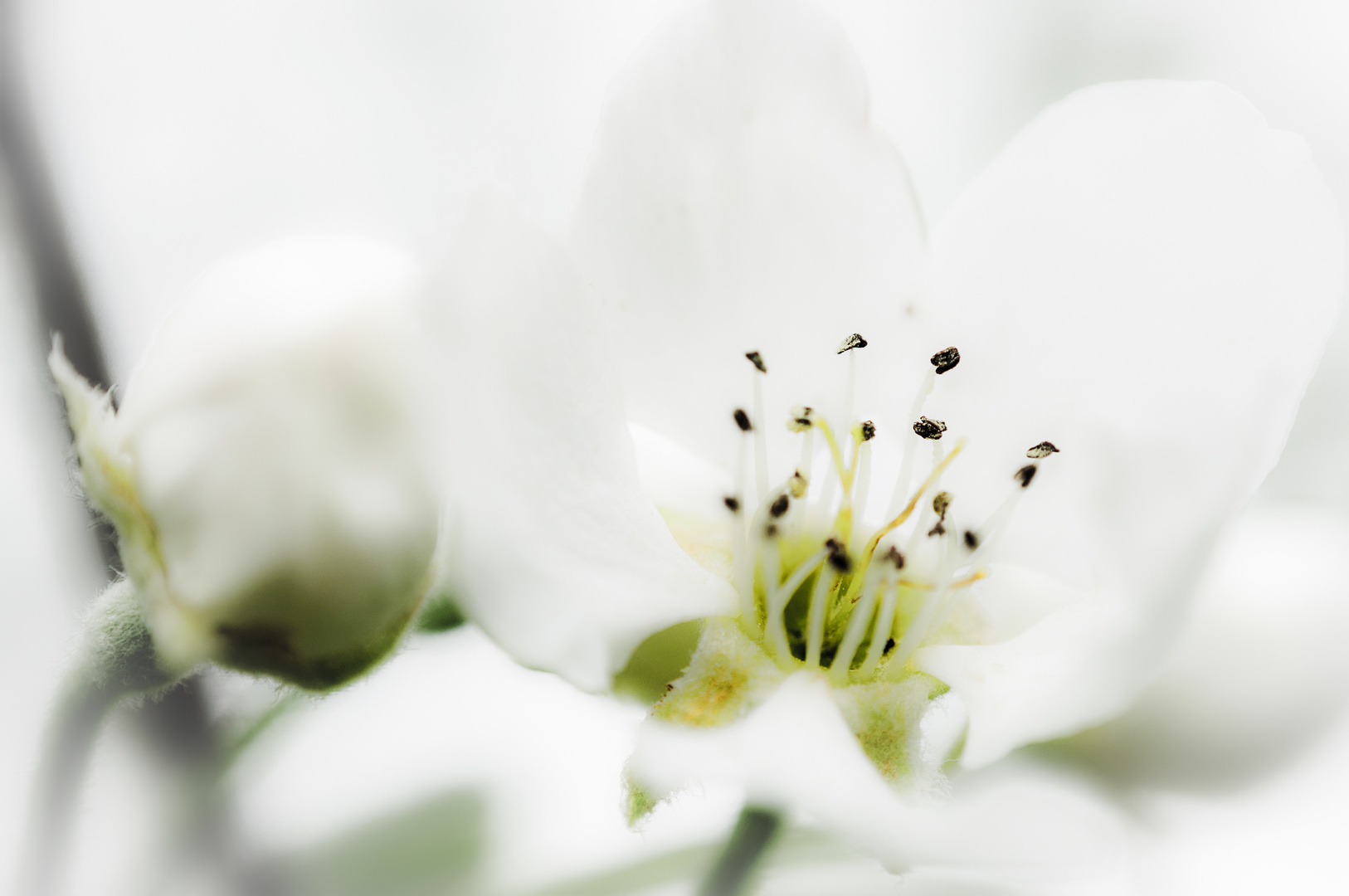 pear blossoms - Birnenblüte
