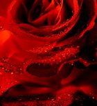Pearls of rose