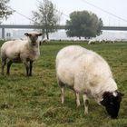 Pecore a Düsseldorf