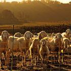 Pecore sull'attenti!