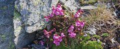 Pedikularis kerneri - Kerners Läusekraut eine seltene  hochalpine Pflanze...