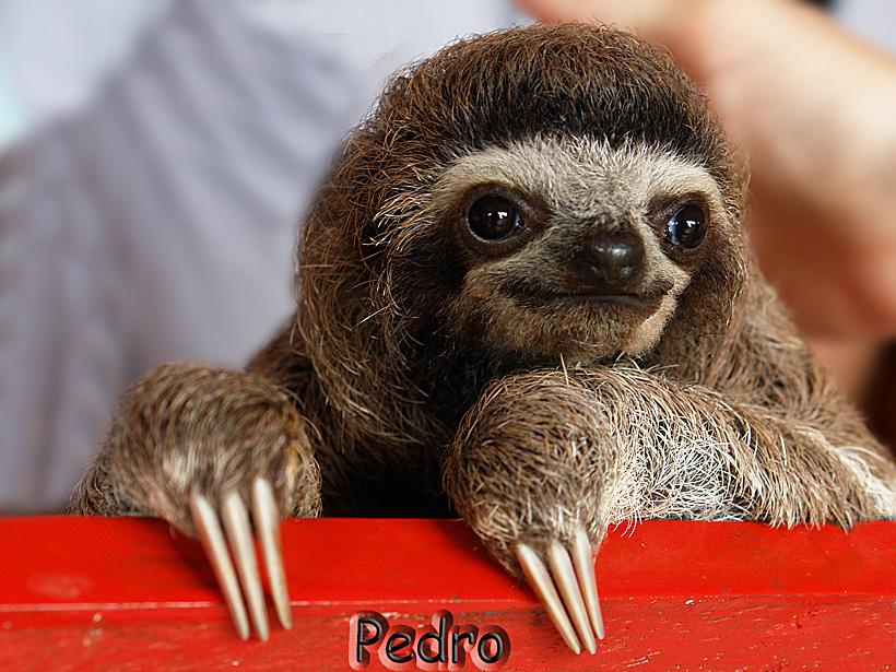 Pedro das kleine Faultier (Babysloth (3) )