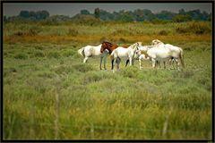 Peinture équestre (chevaux de camargue)