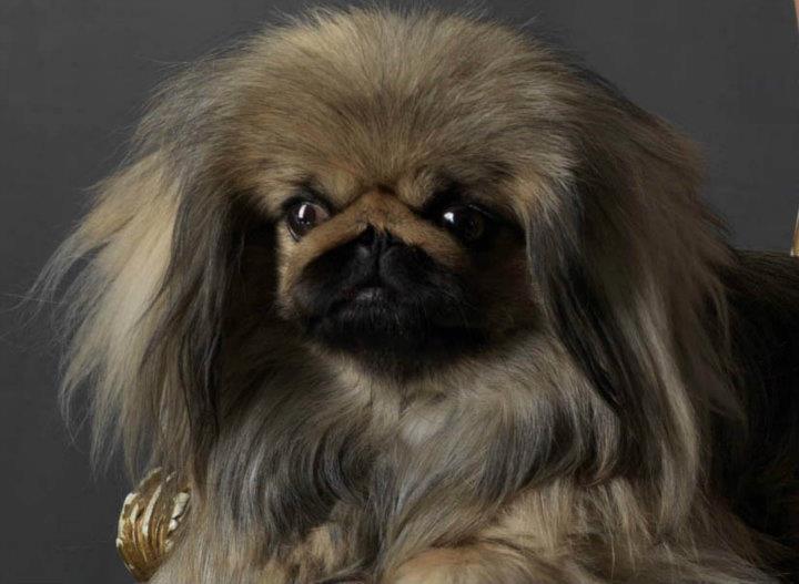 Pekinese ist Kaiserlich ...mein Hund