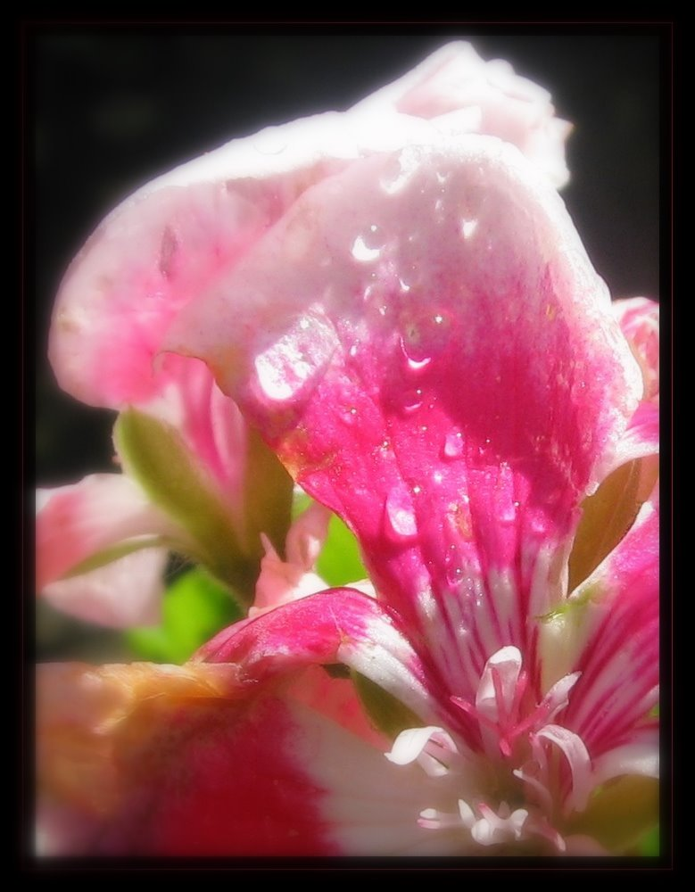 pelargonium rose