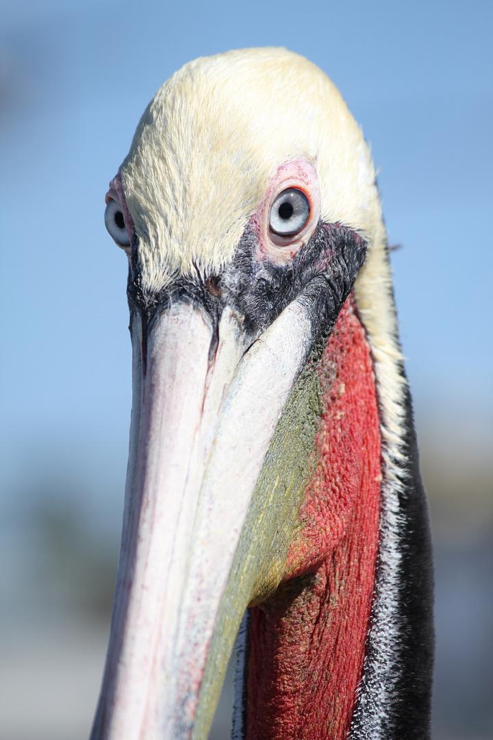 Pelican Colors