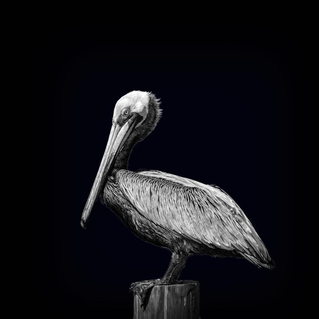 Pelican - Pine Island