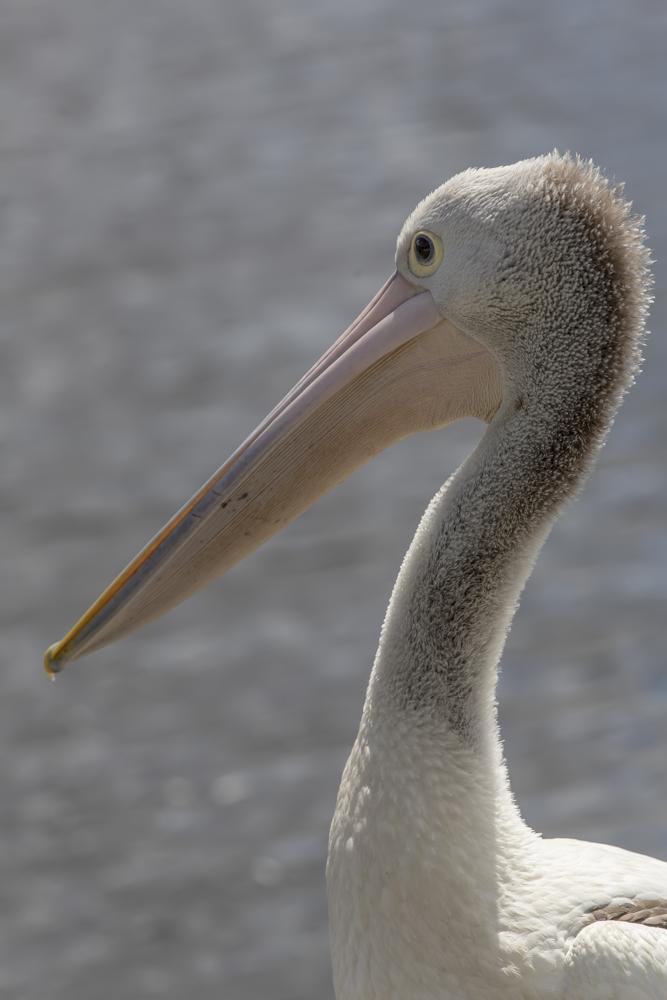 Pelican von der Seite