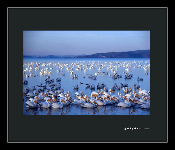 Pelicano Borregon