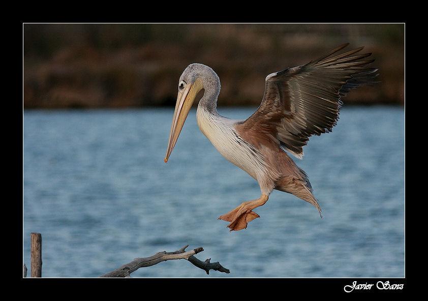 Pelicano. ( Para Gazpacho)