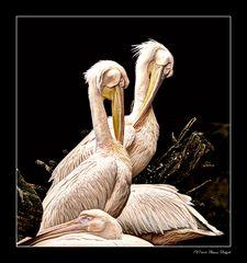 - Pelicanos -