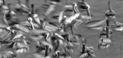 Pelicanos alimentandose